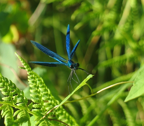 Dragonfly Calopteryx